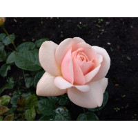 Роза Афродита(чайно-гибридная)