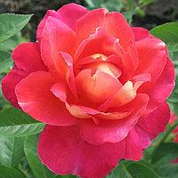 Роза Декор Арлекин (парковая)