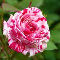 Роза Сатин (флорибунда)