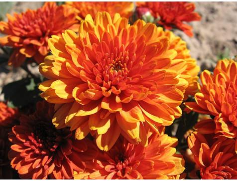 Хризантема Арес Бронз (Мультифлора/Оранжевая)