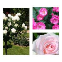 Комплект Р1-3 саженца (Штамбовые розы Александр Пушкин, Ангела, Аннапюрна)