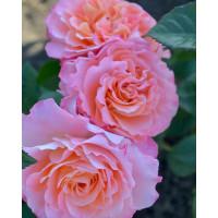 Роза Августа Луиза (шраб)