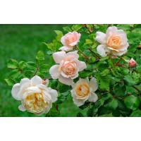 Роза Зорба (шраб)