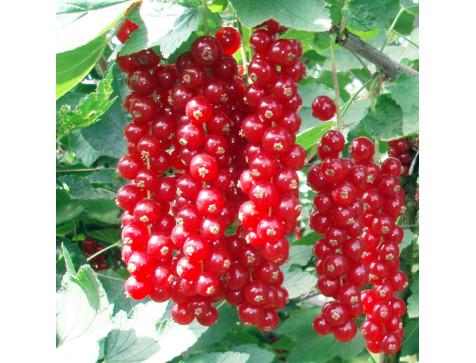 Смородина Сахарная (Красная)
