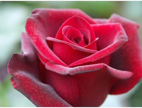 Роза Гранд гала(чайно-гибридная)