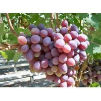 Виноград Атаман (Поздний/Красный)