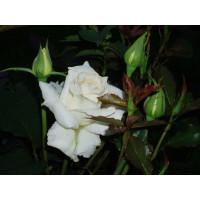 Роза Бианка(чайно-гибридная)