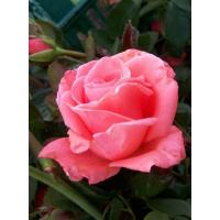 Роза Набила(чайно-гибридная)