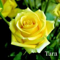 Роза Тара(чайно-гибридная)
