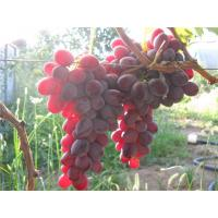 Виноград Рубиновый Юбилей (Ранний/Розовый)