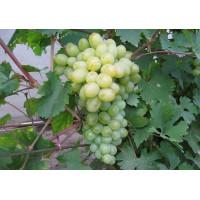Виноград Богатяновский (Средний/Белый)
