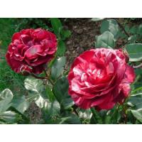 Роза Брауни (плетистая)
