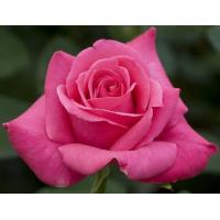 Роза Каприз дэ Мейян(чайно-гибридная)