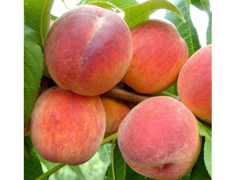 Персик вайн голд Т-3