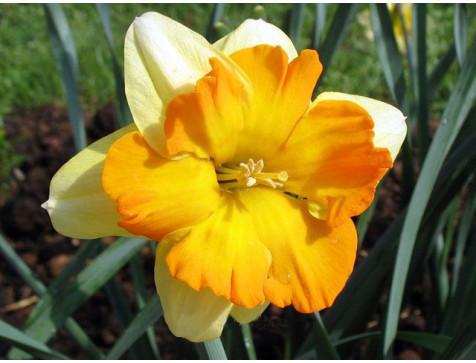 Нарцисс Мондрагон (желтый)