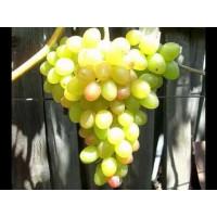 Виноград Ахиллес (Ранний/Белый)