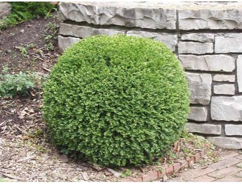 Самшит вечнозелёный Маргината