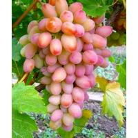Виноград Ух-Ты - Шамаханская Царица (Ранний/Белый)