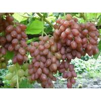Виноград Катавба - Кишмиш (Ранний/Розовый)