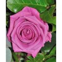 Роза Аква(чайно-гибридная)