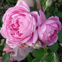 Роза Аленушка(чайно-гибридная)