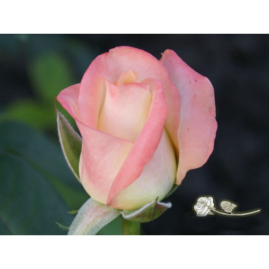 Роза Belle Perle (Белла Перл)(чайно-гибридная)