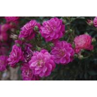 Роза Сиреневый дождь (почвопокровные)
