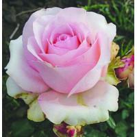 Роза Юниверс(чайно-гибридная)